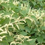 Japanese Knotweed – Not so Bad After All?